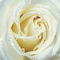 Beauty Of A White Rose by Rachel Barrett