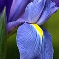 Beauty Of Iris by Joy Watson