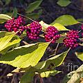 Beautyberry by Gary Richards