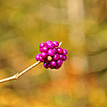 Beautyberry by Sonja Dover