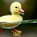 Beautyful Duck by Rajeshmegi Megi