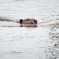 Beaver by Dale Kincaid