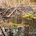 Beaver Dam In Fall Colored Forest Wetland Swamp by Stephan Pietzko