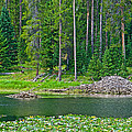 Beaver Dam In Heron Pond In Grand Teton National Park-wyoming by Ruth Hager