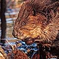 Beaver Eating Bellamy Resrvoir. by Jeff Sinon