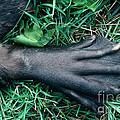Beaver Foot by Stephen J Krasemann
