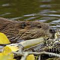 Beaver by John Shaw