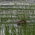 Beaver On Rest Lake by Lizbeth Bostrom