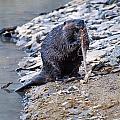 Beaver Sharpens Stick by Chris Flees