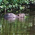 beaver swims in NC lake by Chris Flees