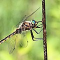 Beaverpond Baskettail Dragonfly by Doris Potter
