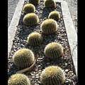 Bed Of Barrel Cacti  by Tamara Kulish
