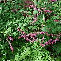 Bed Of Bleeding Hearts by Aimee L Maher ALM GALLERY