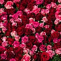 Bed Of Red Roses by Connie Cooper-Edwards