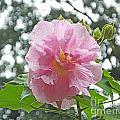 Bedazzled By The Light Louisiana Confederate Rose by Lizi Beard-Ward