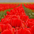 Beds Of Red by Peggy Collins