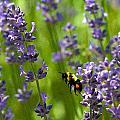 Bee 2 by David DeCenzo