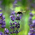Bee 4 by David DeCenzo