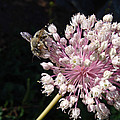 Bee And Allium by Cheryl Hoyle