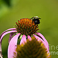 Bee And Echinacea Flower by Ms Judi
