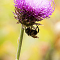 Bee And Thistle by Marilyn Hunt