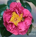Bee And Wasp On Camellia by Carol Groenen