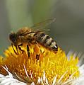 Bee At Work by Rudi Prott