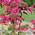 Bee Balm 3 by Marie Spence