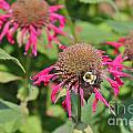 Bee Balm 5 by Marie Spence