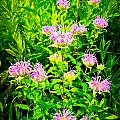 Bee Balm Of The Butterfly Gardens Of Wisconsin by Carol Toepke