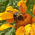 Bee Bold 2 Of 3 by Sandra Schroeder