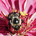 Bee Close Up On Pinkish Red Flower by Optical Playground By MP Ray