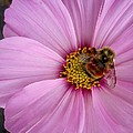 Bee Cosmos by MTBobbins Photography