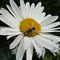 Bee Daisy by Nicki Bennett