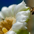 Bee Drinking The Nectar Of Saguaro Cactus Flower by Michael Moriarty