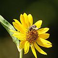 Bee Flower by John Johnson