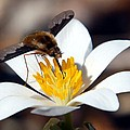 Bee Fly And Bloodroot by Cascade Colors
