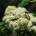 Bee Hovering Over Rowan Truss - Featured 3 by Alexander Senin