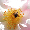 Bee In Camellia by Carol Groenen