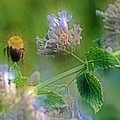 Bee In Catmint by Photographic Arts And Design Studio