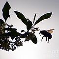 Bee In Flight  by Kerri Farley