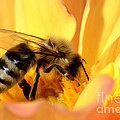 Bee In Flower by Dianne Phelps