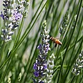 Bee In Lavender by Carol Groenen