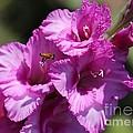 Bee In Pink Gladiolus by Carol Groenen