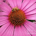 Bee In The Pink by Linda Galok