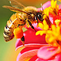 Bee Laden With Pollen by Kaye Menner