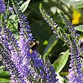 Bee Lavendar by Barbie Wagner