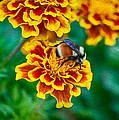 Bee My Friend Miss Marigold by Omaste Witkowski