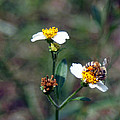 Bee- Nectar by Miguel Hernandez
