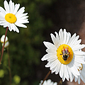 Bee On A Daisy 2 by Cathy Anderson